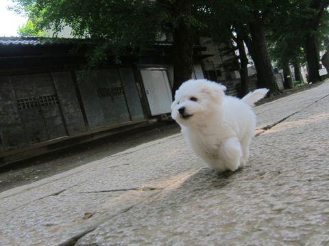 ビションフリーゼこいぬ子犬フントヒュッテ東京かわいいビションフリーゼ関東ビション文京区ビションフリーゼ画像ビションフリーゼおんなのこ姉妹メス子犬_285.jpg