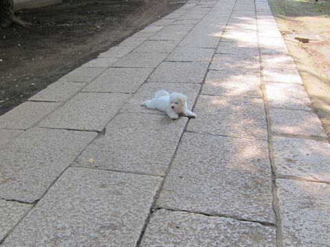ビションフリーゼこいぬ子犬フントヒュッテ東京かわいいビションフリーゼ関東ビション文京区ビションフリーゼ画像ビションフリーゼおんなのこ姉妹メス子犬_286.jpg