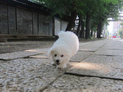 ビションフリーゼこいぬ子犬フントヒュッテ東京かわいいビションフリーゼ関東ビション文京区ビションフリーゼ画像ビションフリーゼおんなのこ姉妹メス子犬_287.jpg