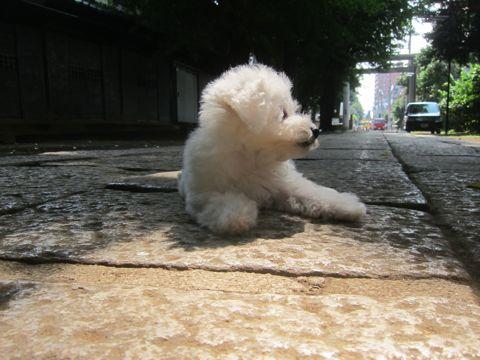 ビションフリーゼこいぬ子犬フントヒュッテ東京かわいいビションフリーゼ関東ビション文京区ビションフリーゼ画像ビションフリーゼおんなのこ姉妹メス子犬_288.jpg