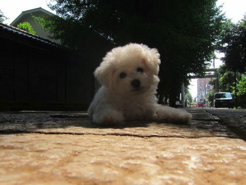 ビションフリーゼこいぬ子犬フントヒュッテ東京かわいいビションフリーゼ関東ビション文京区ビションフリーゼ画像ビションフリーゼおんなのこ姉妹メス子犬_289.jpg