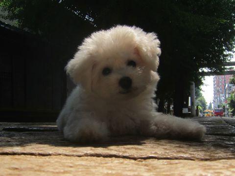 ビションフリーゼこいぬ子犬フントヒュッテ東京かわいいビションフリーゼ関東ビション文京区ビションフリーゼ画像ビションフリーゼおんなのこ姉妹メス子犬_290.jpg