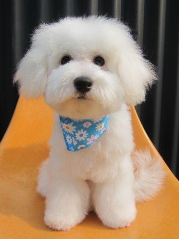 ビションフリーゼフントヒュッテ東京かわいいビション子犬関東こいぬ文京区ビションフリーゼ画像ビションフリーゼおんなのこメス子犬生まれてる都内Bichon Frise 600.jpg