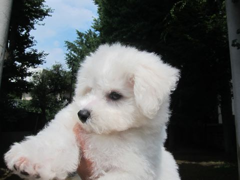 ビションフリーゼこいぬ子犬フントヒュッテ東京かわいいビションフリーゼ関東ビション文京区ビションフリーゼ画像ビションフリーゼおんなのこ姉妹メス子犬_299.jpg