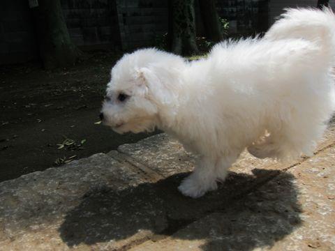 ビションフリーゼこいぬ子犬フントヒュッテ東京かわいいビションフリーゼ関東ビション文京区ビションフリーゼ画像ビションフリーゼおんなのこ姉妹メス子犬_300.jpg