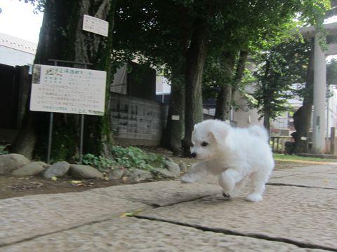 ビションフリーゼこいぬ子犬フントヒュッテ東京かわいいビションフリーゼ関東ビション文京区ビションフリーゼ画像ビションフリーゼおんなのこ姉妹メス子犬_301.jpg