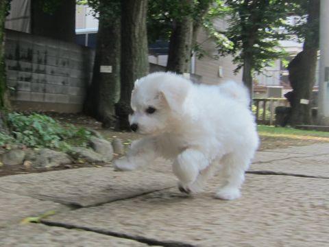 ビションフリーゼこいぬ子犬フントヒュッテ東京かわいいビションフリーゼ関東ビション文京区ビションフリーゼ画像ビションフリーゼおんなのこ姉妹メス子犬_302.jpg