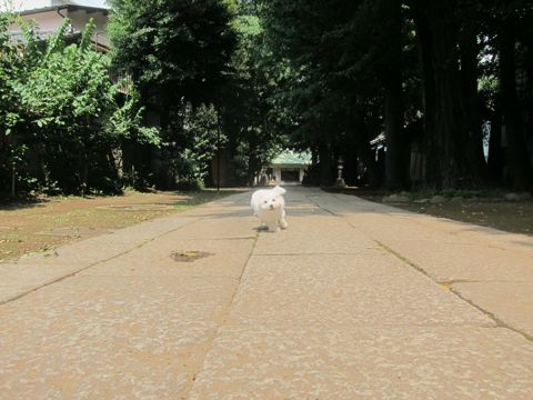 ビションフリーゼこいぬ子犬フントヒュッテ東京かわいいビションフリーゼ関東ビション文京区ビションフリーゼ画像ビションフリーゼおんなのこ姉妹メス子犬_305.jpg