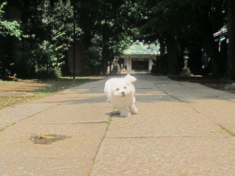 ビションフリーゼこいぬ子犬フントヒュッテ東京かわいいビションフリーゼ関東ビション文京区ビションフリーゼ画像ビションフリーゼおんなのこ姉妹メス子犬_306.jpg