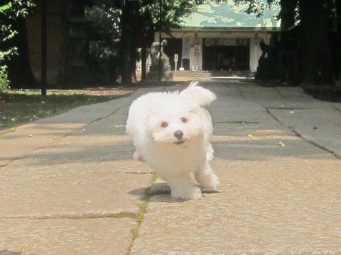 ビションフリーゼこいぬ子犬フントヒュッテ東京かわいいビションフリーゼ関東ビション文京区ビションフリーゼ画像ビションフリーゼおんなのこ姉妹メス子犬_307.jpg