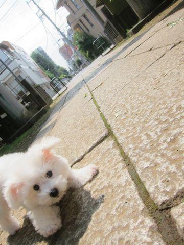 ビションフリーゼこいぬ子犬フントヒュッテ東京かわいいビションフリーゼ関東ビション文京区ビションフリーゼ画像ビションフリーゼおんなのこ姉妹メス子犬_308.jpg