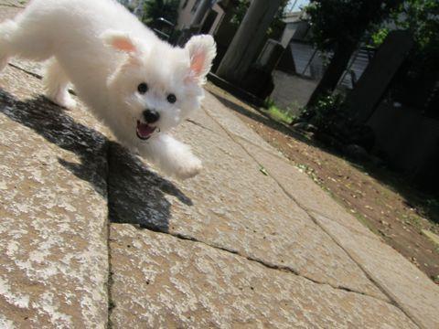 ビションフリーゼこいぬ子犬フントヒュッテ東京かわいいビションフリーゼ関東ビション文京区ビションフリーゼ画像ビションフリーゼおんなのこ姉妹メス子犬_309.jpg
