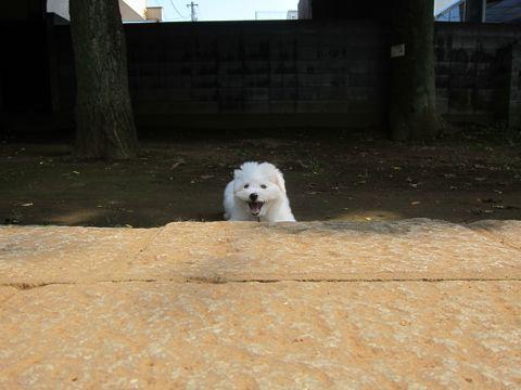 ビションフリーゼこいぬ子犬フントヒュッテ東京かわいいビションフリーゼ関東ビション文京区ビションフリーゼ画像ビションフリーゼおんなのこ姉妹メス子犬_310.jpg