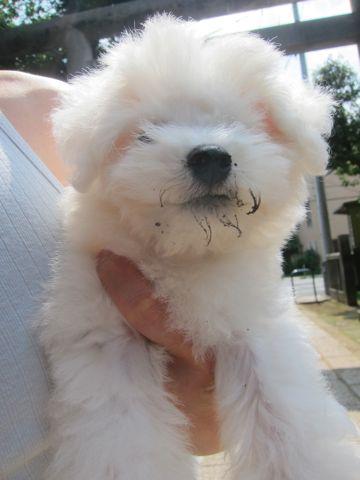 ビションフリーゼこいぬ子犬フントヒュッテ東京かわいいビションフリーゼ関東ビション文京区ビションフリーゼ画像ビションフリーゼおんなのこ姉妹メス子犬_311.jpg