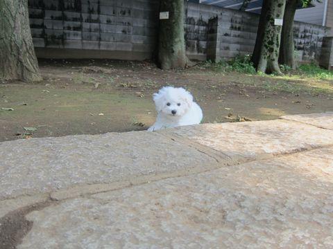 ビションフリーゼこいぬ子犬フントヒュッテ東京かわいいビションフリーゼ関東ビション文京区ビションフリーゼ画像ビションフリーゼおんなのこ姉妹メス子犬_312.jpg
