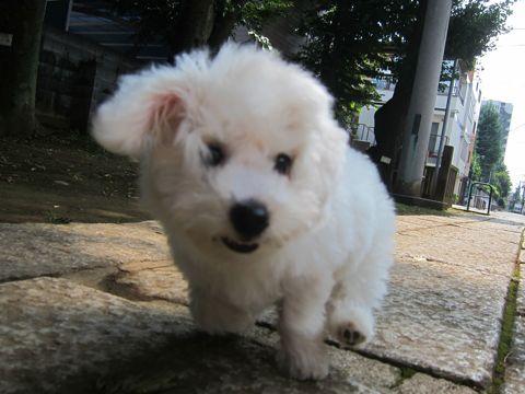 ビションフリーゼこいぬ子犬フントヒュッテ東京かわいいビションフリーゼ関東ビション文京区ビションフリーゼ画像ビションフリーゼおんなのこ姉妹メス子犬_314.jpg