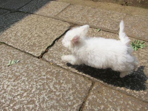 ビションフリーゼこいぬ子犬フントヒュッテ東京かわいいビションフリーゼ関東ビション文京区ビションフリーゼ画像ビションフリーゼおんなのこ姉妹メス子犬_316.jpg