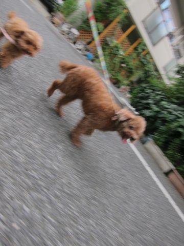 トイプードルペットホテル様子おさんぽ犬おあずかり文京区フントヒュッテ東京トイプードルトリミング画像トイプーモヒカンカット都内ペットホテル駒込15.jpg