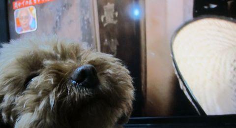 トイプードルペットホテル様子おさんぽ犬おあずかり文京区フントヒュッテ東京トイプードルトリミング画像トイプーモヒカンカット都内ペットホテル駒込32.jpg