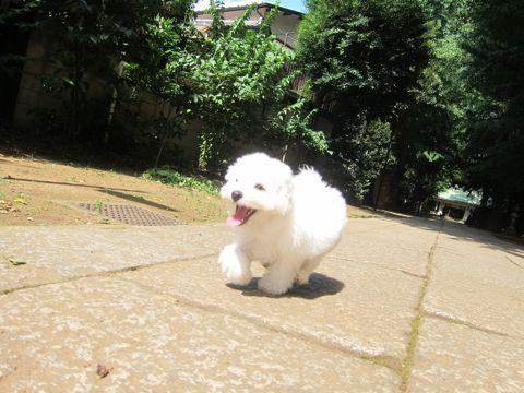 ビションフリーゼこいぬ子犬フントヒュッテ東京かわいいビションフリーゼ関東ビション文京区ビションフリーゼ画像ビションフリーゼおんなのこ姉妹メス子犬_320.jpg