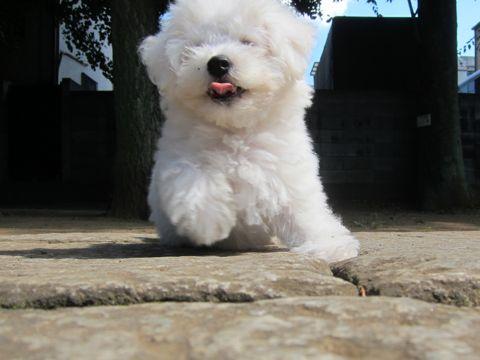 ビションフリーゼこいぬ子犬フントヒュッテ東京かわいいビションフリーゼ関東ビション文京区ビションフリーゼ画像ビションフリーゼおんなのこ姉妹メス子犬_321.jpg