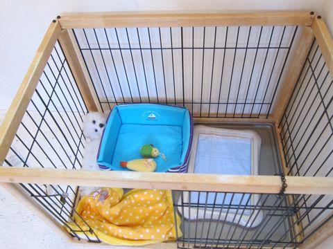 ビションフリーゼこいぬ子犬フントヒュッテ東京かわいいビションフリーゼ関東ビション文京区ビションフリーゼ画像ビションフリーゼおんなのこ姉妹メス子犬_326.jpg