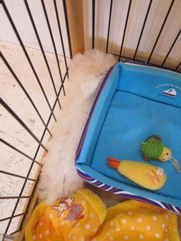 ビションフリーゼこいぬ子犬フントヒュッテ東京かわいいビションフリーゼ関東ビション文京区ビションフリーゼ画像ビションフリーゼおんなのこ姉妹メス子犬_327.jpg