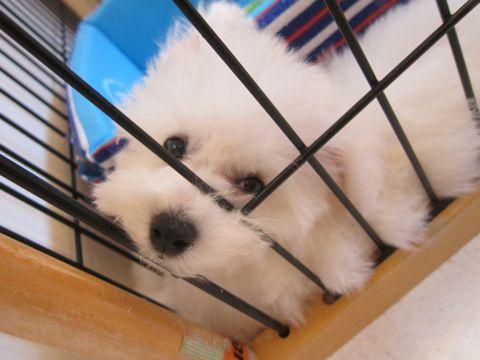 ビションフリーゼこいぬ子犬フントヒュッテ東京かわいいビションフリーゼ関東ビション文京区ビションフリーゼ画像ビションフリーゼおんなのこ姉妹メス子犬_329.jpg