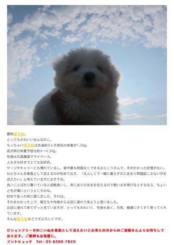 ビションフリーゼこいぬ子犬フントヒュッテ東京かわいいビションフリーゼ関東ビション文京区ビションフリーゼ画像ビションフリーゼおんなのこ姉妹メス子犬_344.jpg