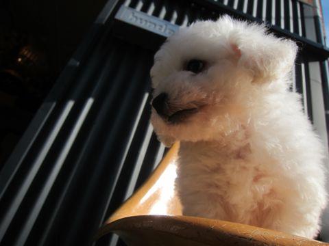 ビションフリーゼこいぬ子犬フントヒュッテ東京かわいいビションフリーゼ関東ビション文京区ビションフリーゼ画像ビションフリーゼ子犬東京ビション毛量 13.jpg