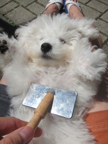 ビションフリーゼこいぬ子犬フントヒュッテ東京かわいいビションフリーゼ関東ビション文京区ビションフリーゼ画像ビションフリーゼおんなのこ姉妹メス子犬_353.jpg