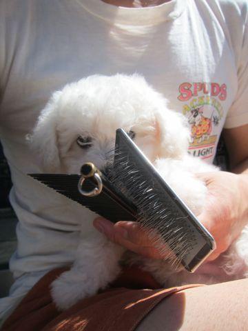 ビションフリーゼこいぬ子犬フントヒュッテ東京かわいいビションフリーゼ関東ビション文京区ビションフリーゼ画像ビションフリーゼ子犬東京ビション毛量 26.jpg