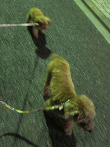 トイプードルペットホテル様子おさんぽ犬おあずかり文京区フントヒュッテ東京トイプードルトリミング画像トイプーモヒカンカット都内ペットホテル駒込39.jpg