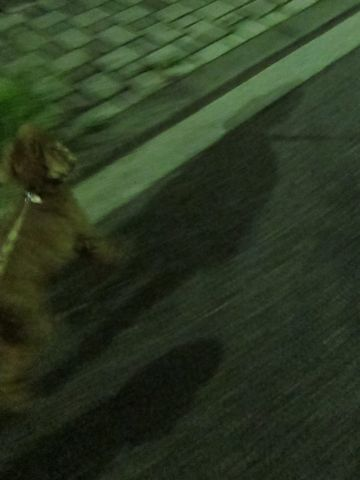 トイプードルペットホテル様子おさんぽ犬おあずかり文京区フントヒュッテ東京トイプードルトリミング画像トイプーモヒカンカット都内ペットホテル駒込40.jpg