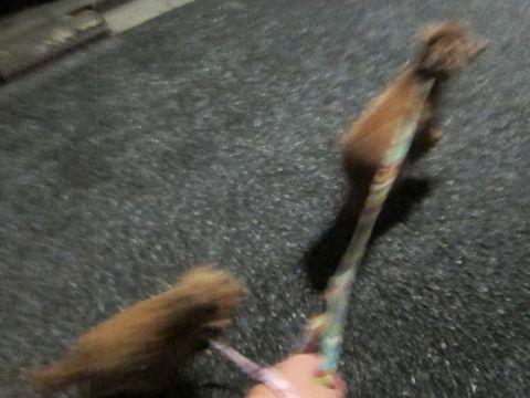 トイプードルペットホテル様子おさんぽ犬おあずかり文京区フントヒュッテ東京トイプードルトリミング画像トイプーモヒカンカット都内ペットホテル駒込42.jpg