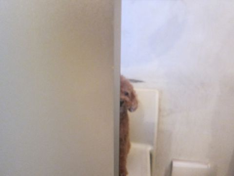 トイプードルペットホテル様子おさんぽ犬おあずかり文京区フントヒュッテ東京トイプードルトリミング画像トイプーモヒカンカット都内ペットホテル駒込46.jpg