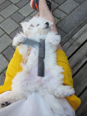 ビションフリーゼこいぬ子犬フントヒュッテ東京かわいいビションフリーゼ関東ビション文京区ビションフリーゼ画像ビションフリーゼおんなのこ姉妹メス子犬_361.jpg