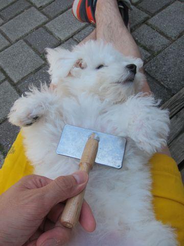 ビションフリーゼこいぬ子犬フントヒュッテ東京かわいいビションフリーゼ関東ビション文京区ビションフリーゼ画像ビションフリーゼおんなのこ姉妹メス子犬_362.jpg