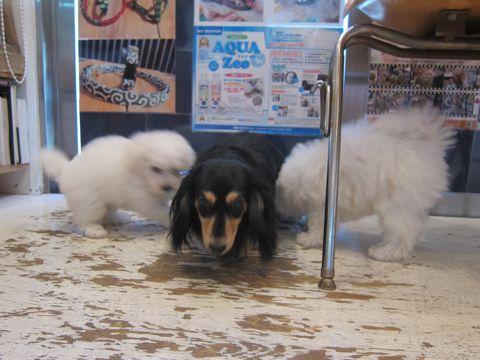 ビションフリーゼこいぬ子犬フントヒュッテ東京かわいいビションフリーゼ関東ビション文京区ビションフリーゼ画像ビションフリーゼおんなのこ姉妹メス子犬_365.jpg