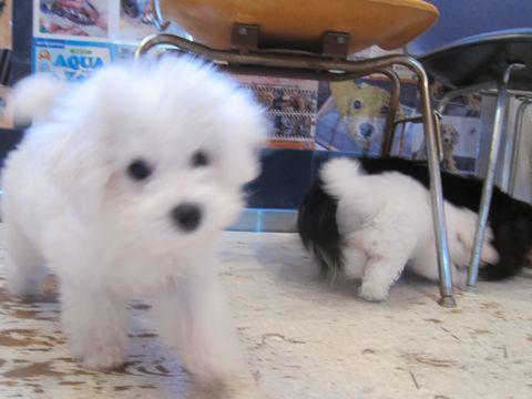 ビションフリーゼこいぬ子犬フントヒュッテ東京かわいいビションフリーゼ関東ビション文京区ビションフリーゼ画像ビションフリーゼおんなのこ姉妹メス子犬_366.jpg