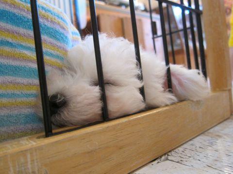 ビションフリーゼこいぬ子犬フントヒュッテ東京かわいいビションフリーゼ関東ビション文京区ビションフリーゼ画像ビションフリーゼ子犬東京ビション毛量 37.jpg