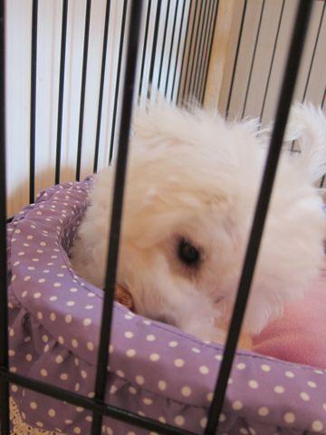 ビションフリーゼこいぬ子犬フントヒュッテ東京かわいいビションフリーゼ関東ビション文京区ビションフリーゼ画像ビションフリーゼおんなのこ姉妹メス子犬_374.jpg
