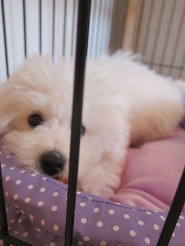 ビションフリーゼこいぬ子犬フントヒュッテ東京かわいいビションフリーゼ関東ビション文京区ビションフリーゼ画像ビションフリーゼおんなのこ姉妹メス子犬_375.jpg