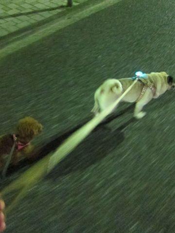 パグ画像かわいいパグ画像ペットホテル様子おさんぽ犬おあずかり文京区フントヒュッテ東京パグ駒込パグ夏弱い夏対策パグ飛行機パグ呼吸器官37.jpg