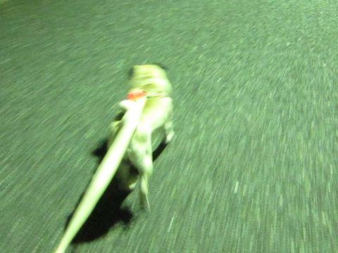 パグ画像かわいいパグ画像ペットホテル様子おさんぽ犬おあずかり文京区フントヒュッテ東京パグ駒込パグ夏弱い夏対策パグ飛行機パグ呼吸器官38.jpg