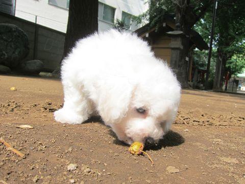 ビションフリーゼこいぬ子犬フントヒュッテ東京かわいいビションフリーゼ関東ビション文京区ビションフリーゼ画像ビションフリーゼ子犬東京ビション毛量 55.jpg