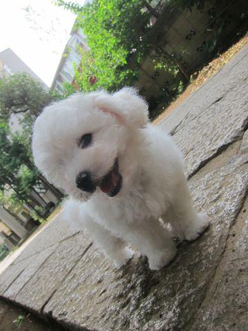 ビションフリーゼこいぬ子犬フントヒュッテ東京かわいいビションフリーゼ関東ビション文京区ビションフリーゼ画像ビションフリーゼ子犬東京ビション毛量 61.jpg