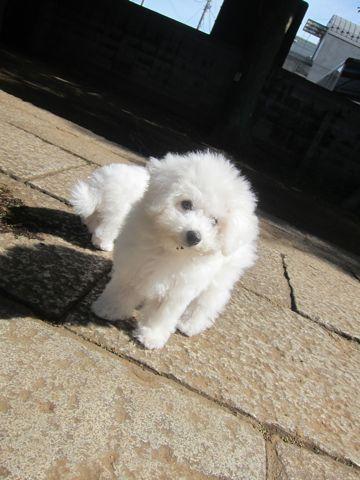 ビションフリーゼこいぬ子犬フントヒュッテ東京かわいいビションフリーゼ関東ビション文京区ビションフリーゼ画像ビションフリーゼおんなのこ姉妹メス子犬_378.jpg