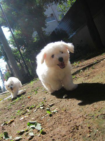 ビションフリーゼこいぬ子犬フントヒュッテ東京かわいいビションフリーゼ関東ビション文京区ビションフリーゼ画像ビションフリーゼおんなのこ姉妹メス子犬_380.jpg