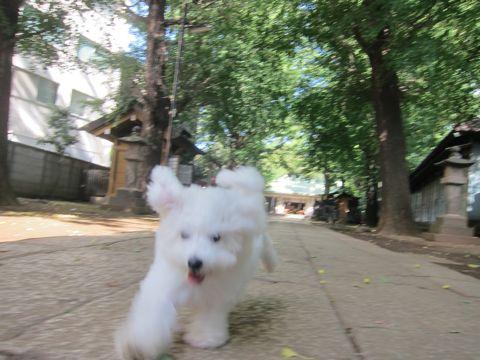 ビションフリーゼこいぬ子犬フントヒュッテ東京かわいいビションフリーゼ関東ビション文京区ビションフリーゼ画像ビションフリーゼおんなのこ姉妹メス子犬_381.jpg